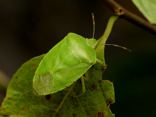 Washington,hemiptera,pentatomidae, chinavia hilaris